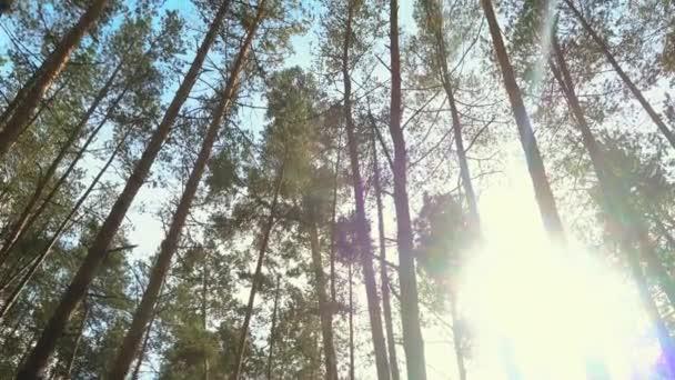 Vysoké borovice v lese na krásný den, slunce mezi stromy. Borový les.