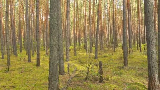 Krásný borový les, panoramatické video.