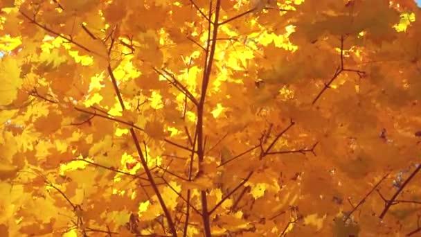 Beautiful golden autumn leaves on a wind, maple.