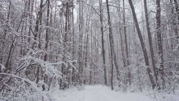 Krásné zimní les, padající sníh v divoké zimním lese.