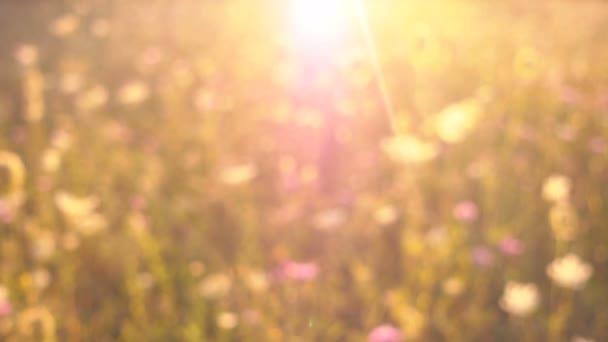 Blooming field in sunlight, blurred.