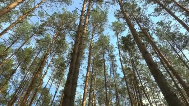 Beautiful pine forest at sunny day.