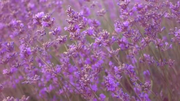 Lavendelfeld, schöne zarte Lavendelblüten.