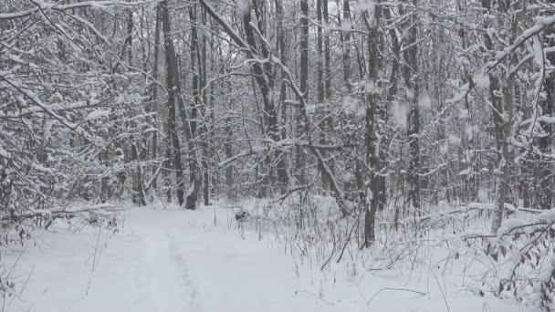 Snow falls in beautiful winter forest.
