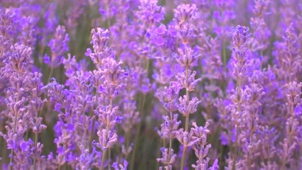 Nahaufnahme Lavendelfeld, zarte Lavendelblüten