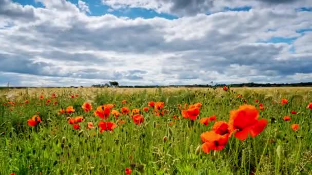 Time Lapse Of Red Poppies Blooming in a field among Bearded Barley near Thirsk, North Yorkshire, UK