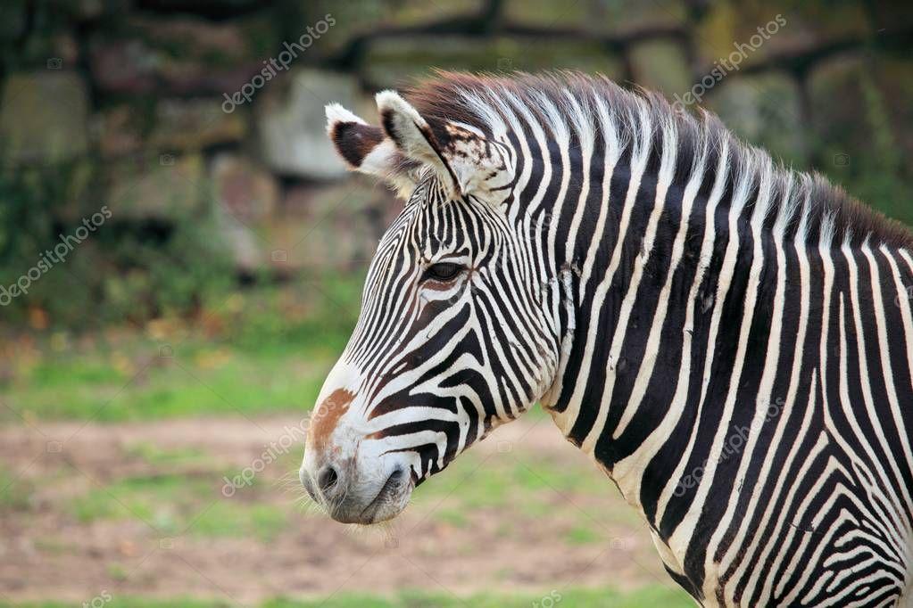 Zebra head shot. Close up