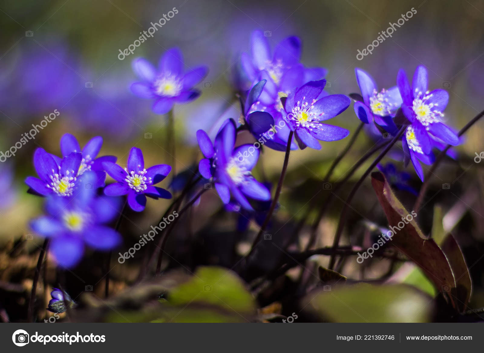 Hepatica Early Spring Purple Flowers Growing Forest Stock Photo