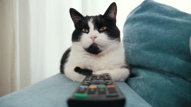 Fekete-fehér foltos fold macska tévénézés távirányítóval.