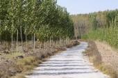Fotografie Road between poplar in Fuente Vaqueros, Andalusia, Granada, Spain