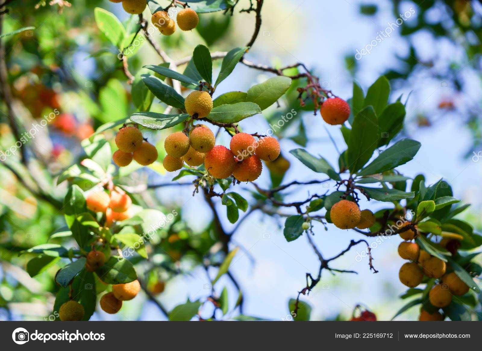 arbutus tree ripe strawberry tree fruits granada stock photo