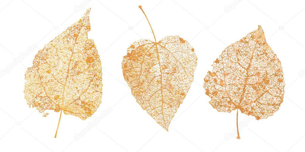 Set of golden leaves skeletons. Fallen foliage for autumn designs. Natural leaf of aspen and birch. Vector illustration.
