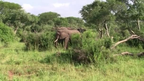Vad elefántok állva a sűrű zöld bokor Ugandában, Afrikában