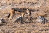 Black-backed Jackal Feeding, Etosha National Park