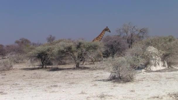 Tall Giraffe Walking through Bush in Etosha National Park, Namibia, Africa