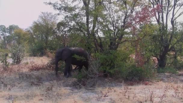 Malý, mladý slon stojící nedaleko Bushe v Moremi Game Reserve v Botswaně