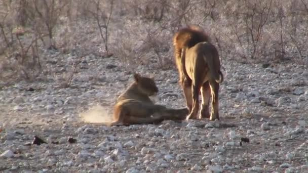 Male and Female Lion Courtship Ritual in Etosha National Park, Namibia, Africa