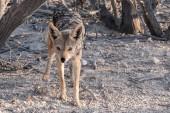 Black-backed Jackal in Etosha National Park, Namibia