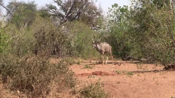 Impressionante Toro Kudu con possenti corna a spirale che pascolano nel Bush nel Chobe National Park, Botswana, Africa