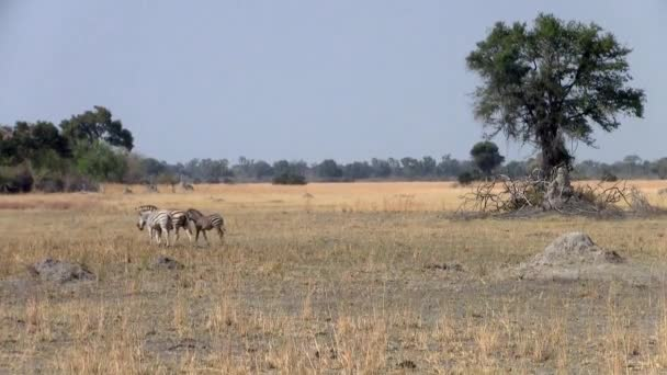 Dry Savanna Landscape with Tree and Zebras in Makgadikgadi National Park, Botswana, Africa