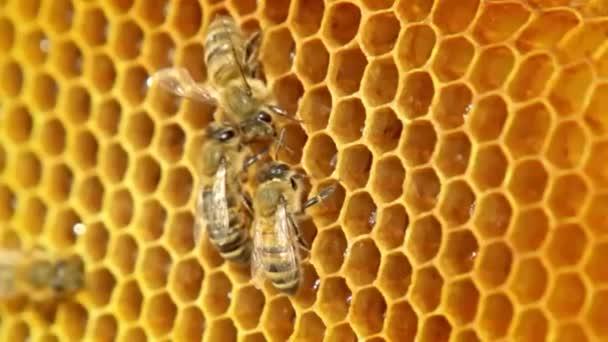 Datailní pohled včel na honeycomb Zpomalený pohyb