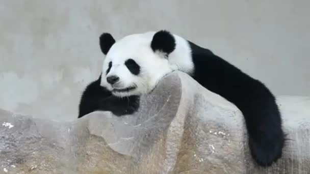 cute giant panda bear sleep