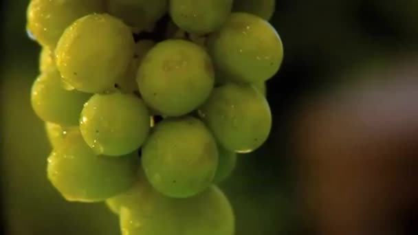 Green seedless grapes on the vine
