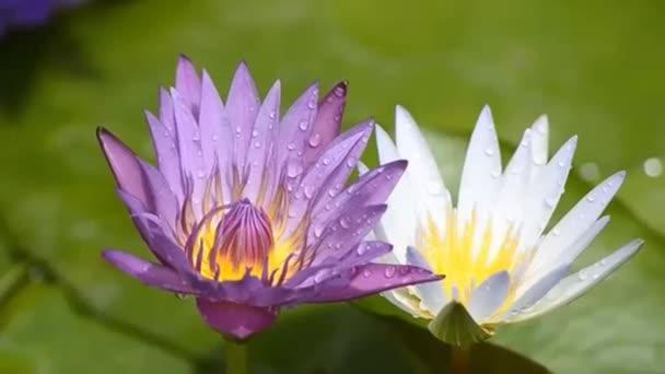 gyönyörű lótuszvirág a tó