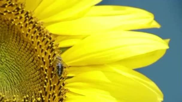 Méhecske dolgozik Napraforgó lassított felvételen, kék ég és napos időjárás