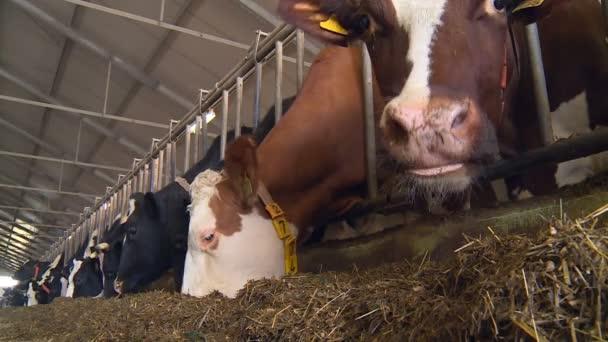 Krávy na mléčné farmě pomalu jíst seno a dávají chutné bílé mléko.