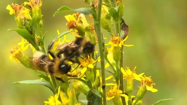 Egy napsütéses tavaszi napon a méhek gyűjt nektár-ból sárga vadvirágok.