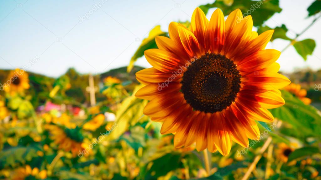 Sunflower blooming beautifully, accepting sunlight