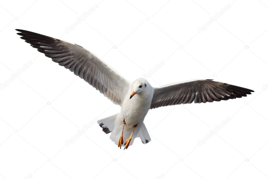 Seagull flying.