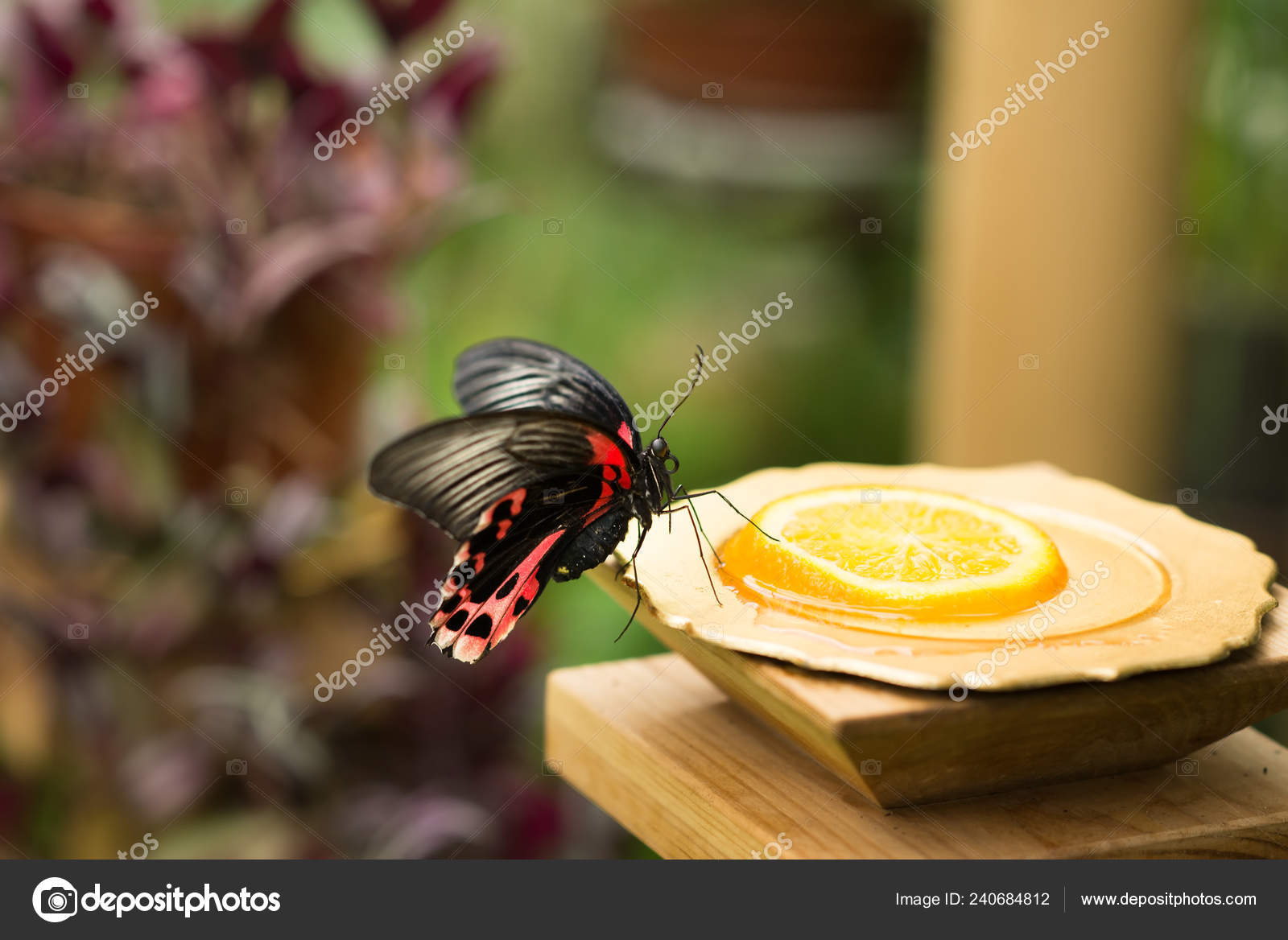 Tropic fragile butterfly sitting and eating lemon juice