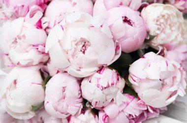 Close view of tender fresh pink blooming peonies