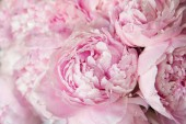 Pink peonies blossom background. Flowers