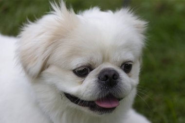 Small white Pekinese on the meadow