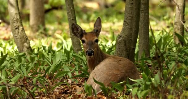 Mladý běloocasý jelen ležící v divokém česneku .