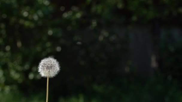 Běžný Dandelion, Taraxacum officinale, semena, která jsou rozmetala a rozptýlena větrem, pomalý pohyb zblízka. Vysokorychlostní fotoaparát.