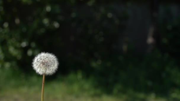 Dandelion fouká na nádherné tmavě zelené pozadí. Pomalý pohyb eposu vyteče z dandelví semena. Vysokorychlostní snímek kamery.