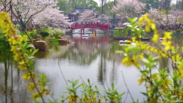 Časosběrné záběry z Číny Wuhan East Lake Cherry blossom Zahradní krajina na jaře