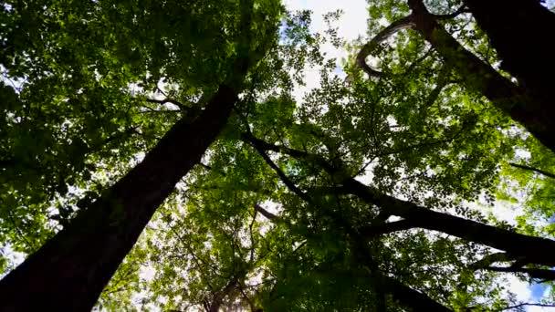 Nízký úhel pohled na les a modrý nebe s foukající vítr. Rostoucí pohled na lesní stromy a zelené listí tekoucí ve větru.