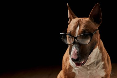 portrait of purebred brown bull terrier on black background