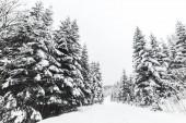 borovice bílá sněhem v Karpatských horách