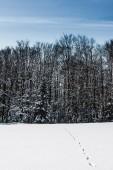 vysoké stromy v zimě lese stopy ve sněhu v Karpatských horách