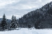 scénický výhled na zasněžené Karpaty s borovice v zimě