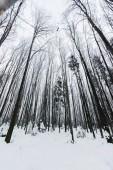 Fotografia Inquadratura dal basso di tronchi dalbero nella foresta di inverno nevoso