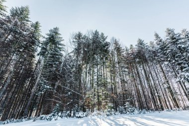 forest in carpathian mountains with tall pines and snow