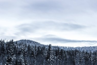 pines covered with snow and cloudy sky in carpathians