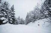 Fotografie silnice v Karpatských hor pokryté sněhem mezi smrky